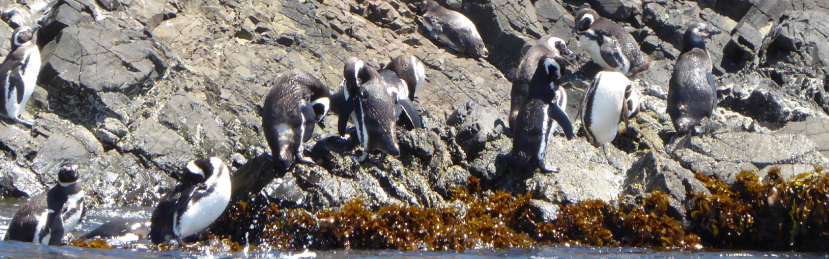 How we saw Penguins on Chiloe (Ancud) without booking an expensivetour